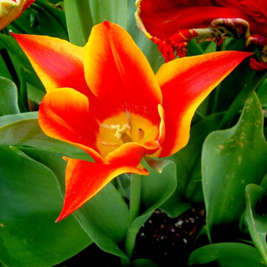 The tulip, one of the main export products of the Netherlands.(© All Rights Reserved)