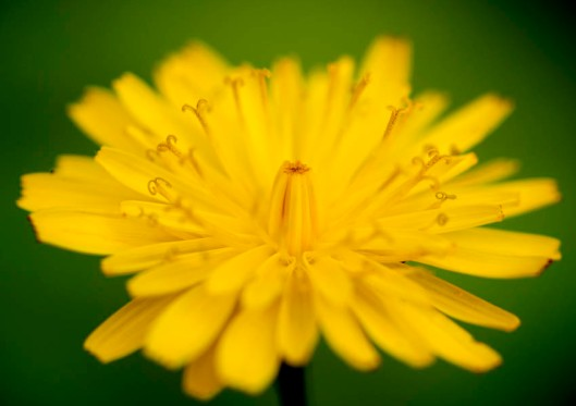 The lovely, cheerful dandelion, just one of many weeds worth celebrating.(© All Rights Reserved)