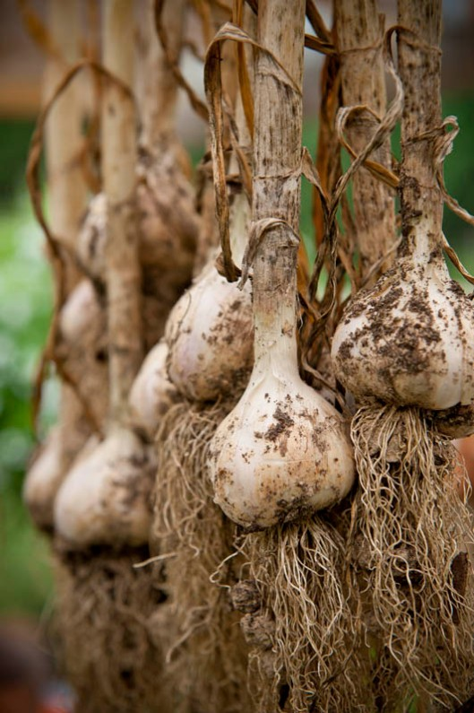 Hanging garlic to dry after harvest allows it to keep for a long time. (© All Rights Reserved)