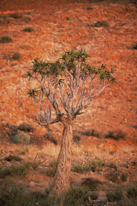While today is a reminder to love all trees, let's also use it to celebrate the diversity of trees out there. And to remind ourselves of those trees that need particular protection from potential extinction. Pictured here is the beautiful Aloe dichotoma, or quiver tree (kokerboom), indigenous to Southern Africa. Different subspecies of the tree have been rated as 'vulnerable' (A. dichotoma), 'endangered' (A. ramossisima) and 'critically endangered' (A. pillansii) respectively on the IUCN Red List of Threatened Species. (© All Rights Reserved)